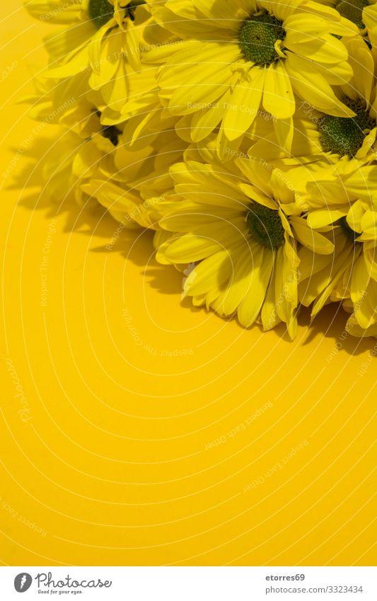 Gelber Chrysanthemenstrauß auf gelbem Hintergrund. Raum kopieren Blume Blumenstrauß Blüte geblümt Frühling rosa Natur Pflanze Isoliert (Position) Gänseblümchen