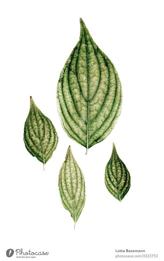 gepresste Blätter Umwelt Natur Pflanze Blatt ästhetisch schön grün natürlich Biologie Farbfoto Gedeckte Farben Nahaufnahme Detailaufnahme abstrakt Menschenleer
