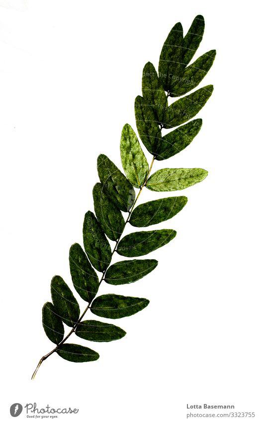 gepresstes Blatt Umwelt Natur Pflanze ästhetisch schön grün natürlich Biologie Farbfoto Gedeckte Farben Nahaufnahme Detailaufnahme abstrakt Menschenleer