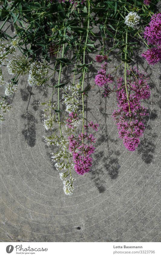 Blumen und Asphalt Umwelt Natur Pflanze Sommer Blüte Halm ästhetisch natürlich schön grün weiß ökologisch Dekoration & Verzierung Nahaufnahme Detailaufnahme Tag