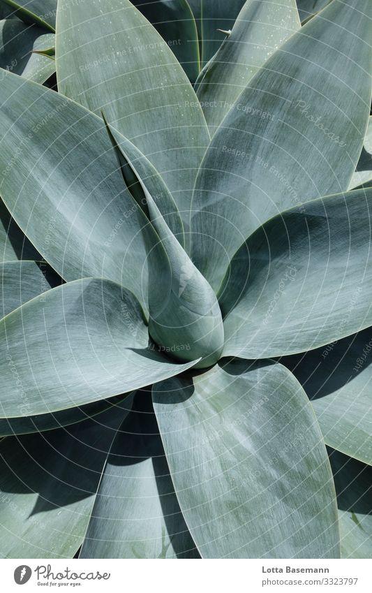 Agave Umwelt Natur Landschaft Pflanze Tier Kaktus Blatt ästhetisch exotisch schön Spitze blau grau grün Zufriedenheit Stimmung Mitte Gleichgewicht natürlich