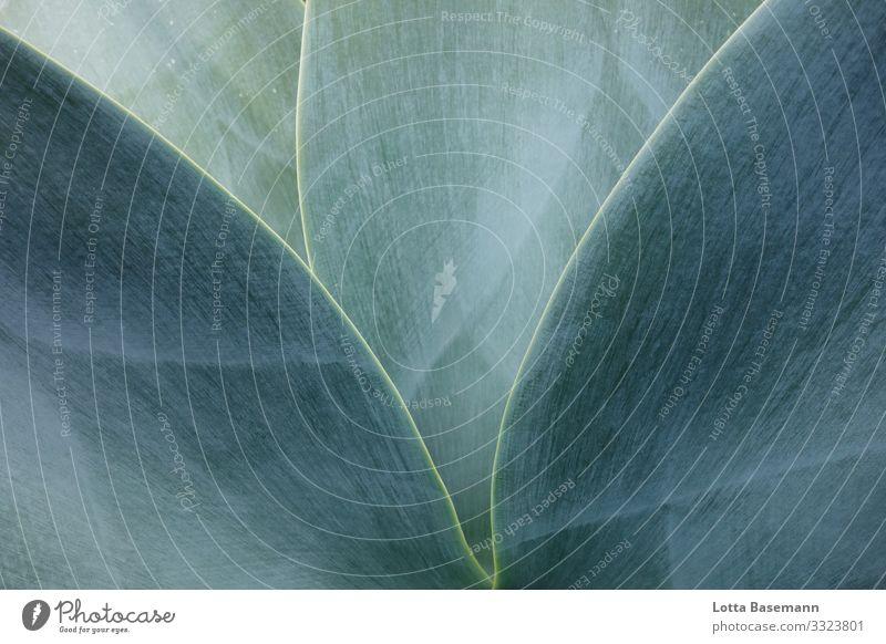 Agave Umwelt Natur Pflanze Tier Kaktus Blatt Wüste ästhetisch schön blau grau grün Einblick natürlich Biologie Farbfoto Gedeckte Farben Außenaufnahme