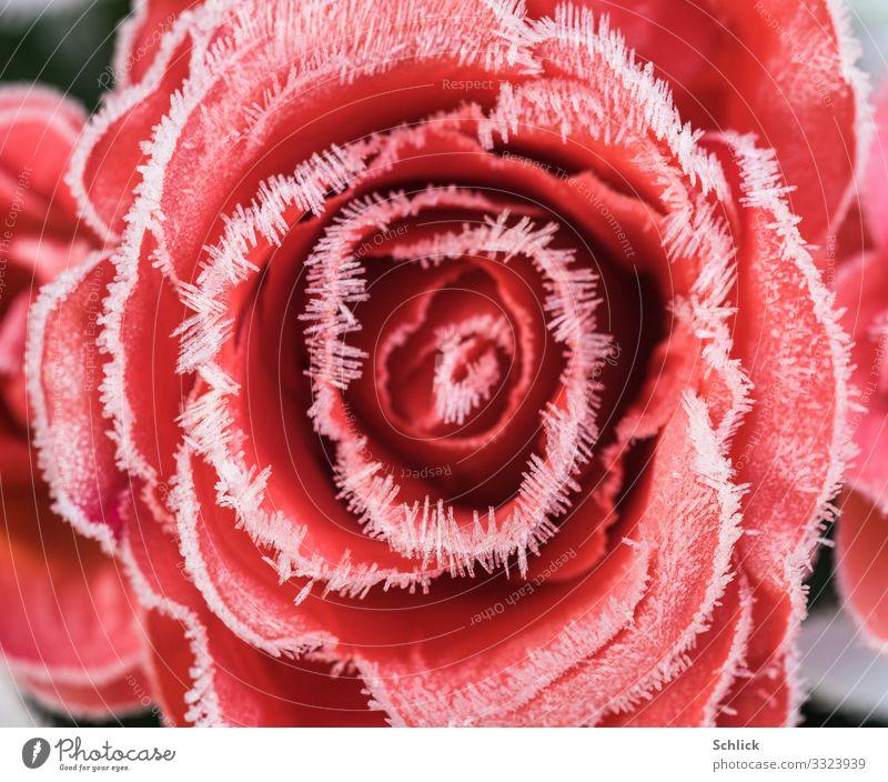 Kalte Liebe Natur Pflanze Blume Rose Kristalle kalt rot weiß ästhetisch schön Frost Raureif Kristallnadeln Naturphänomene Naturwunder gestellt Textilien Winter