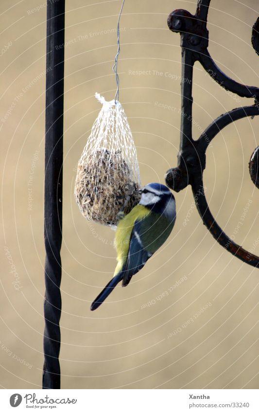 Blaumeise Vogel Vogelfutter Futterknödel Fressen Tierliebe Natur Außenaufnahme Gitter Zaun Menschenleer Appetit & Hunger Tag