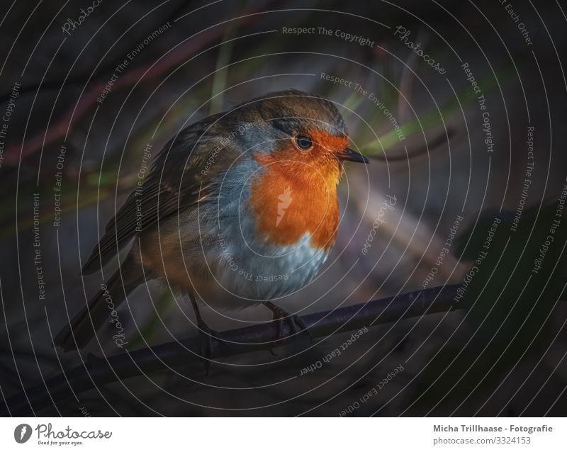Rotkehlchen in der Dämmerung Natur blau Baum Erholung Tier schwarz gelb Auge natürlich orange Vogel braun Kopf leuchten Wildtier Feder