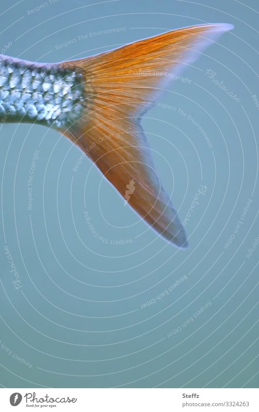 Flosse Umwelt Natur Tier Wasser Fisch Schwanzflosse Fischhaut Fischschuppen Schwimmen & Baden außergewöhnlich nah maritim schön blau orange silber Textfreiraum