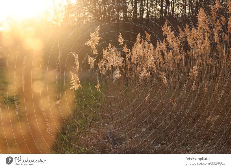 sonnen gräser Umwelt Natur Sonnenlicht Gras Wiese glänzend leuchten verblüht dehydrieren Wachstum Duft Wärme gold Stimmung Romantik Trauer Endzeitstimmung ruhig