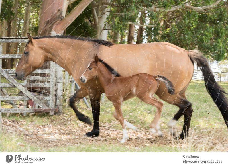 Mutter und Tochter Sommer Baum Gras Eukalyptusbaum Wiese Eukalyptuswald Nutztier Pferd Fohlen Falbe 2 Tier Holzgatter Pferch gehen schön klein braun grau grün