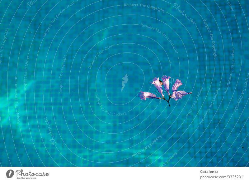Eine lila Jacarandablüte treibt auf dem türkis leuchtenden Wasser des Schwimmbeckens, man erkennt die Mosaikfliesen am Grund Schwimmen & Baden Schwimmbad Sommer