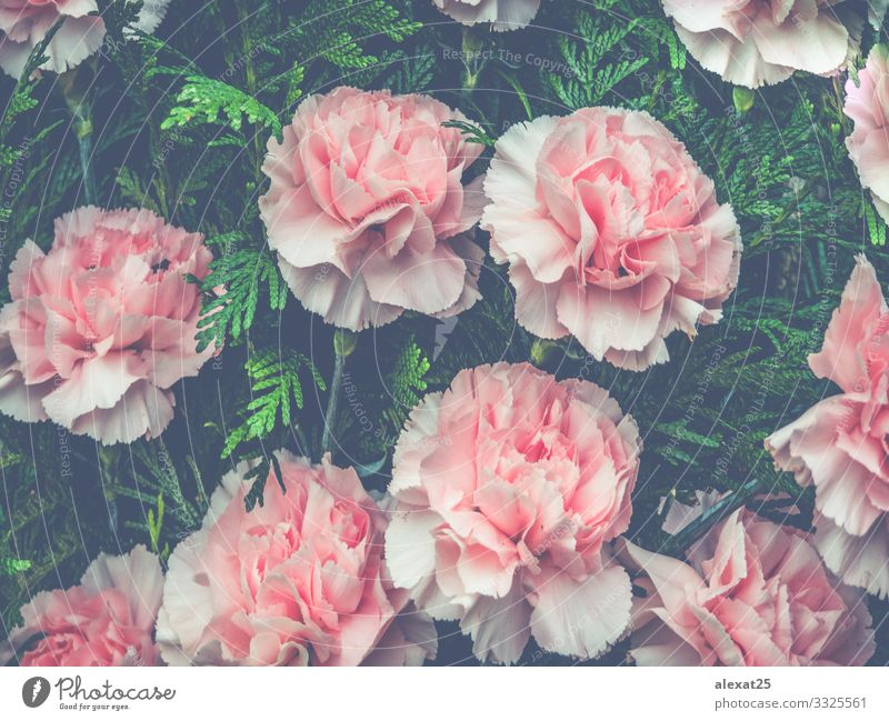 Blumen Hintergrund mit rosa Blumen schön Sommer Garten Dekoration & Verzierung Hochzeit Geburtstag Mutter Erwachsene Kunst Natur Pflanze Rose Blatt Blüte