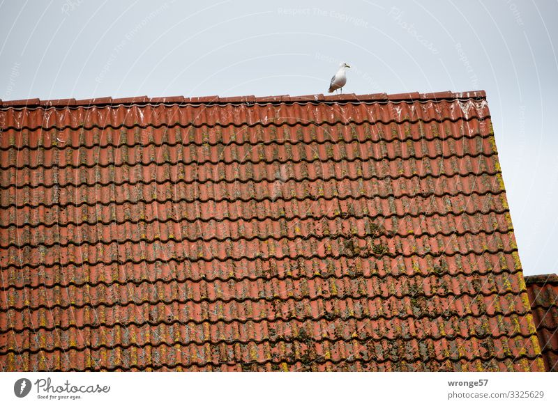 Möwe auf dem Dach Ziegeldach Tier Wildtier Vogel 1 beobachten Blick warten maritim braun grau rot Aussicht Appetit & Hunger Farbfoto Gedeckte Farben