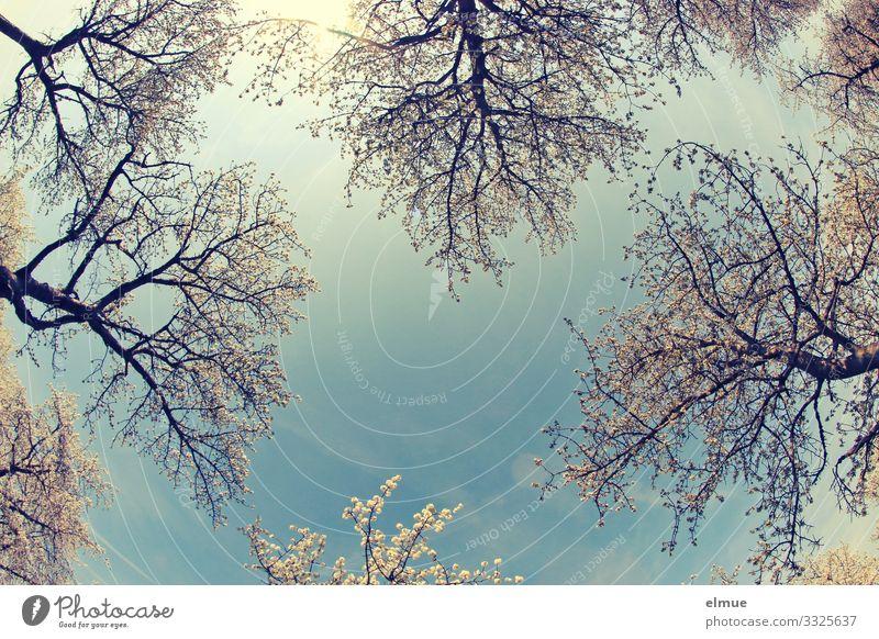 himmelwärts Ferien & Urlaub & Reisen Umwelt Natur Wolkenloser Himmel Sonne Frühling Schönes Wetter Baum Kirschbaum Kirschblüten Blühend Duft hell blau weiß