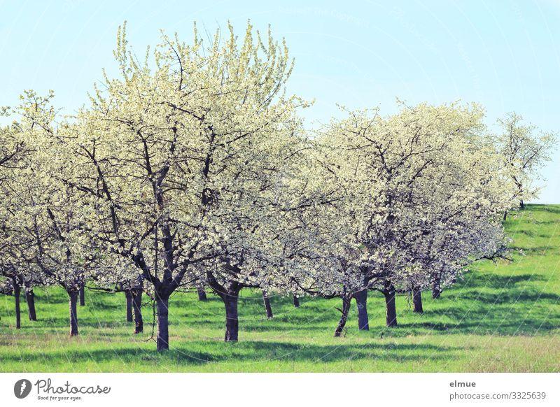 Kirschblüte Natur Landschaft Pflanze Wolkenloser Himmel Sonne Frühling Schönes Wetter Baum Blüte Wiese Blühend blau grün weiß Glück Lebensfreude