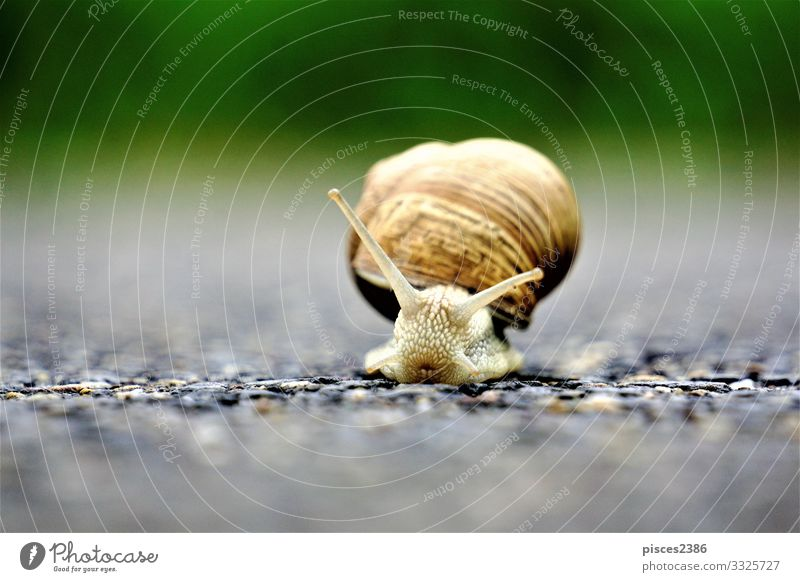 Front close up of europaean vineyard snail Sommer Wildtier Schnecke 1 Tier Umwelt animal animals antenna Hintergrundbild brown crawling cute garden gastropod