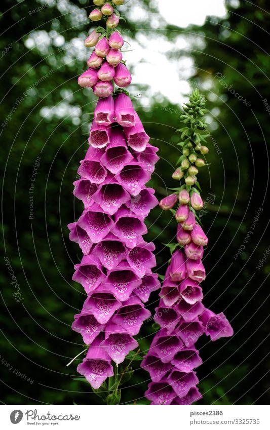 Blossoms of purple digitalis purpurea in the forest Natur Pflanze Wildpflanze rosa planen foxglove Fingerhut medicinal wild common poisonous green