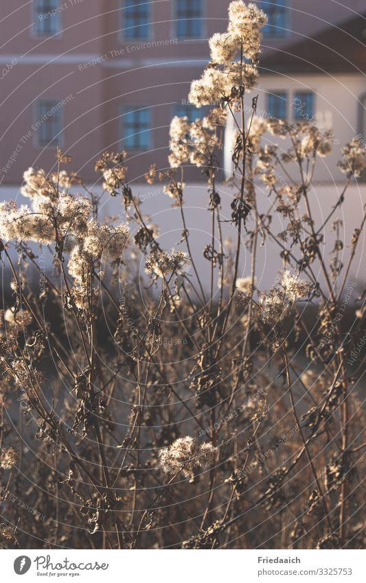 Verblühtes in der Stadt Pflanze Sonnenlicht Winter Schönes Wetter Sträucher Kleinstadt Stadtrand Fassade Blühend entdecken Erholung gehen genießen verblüht