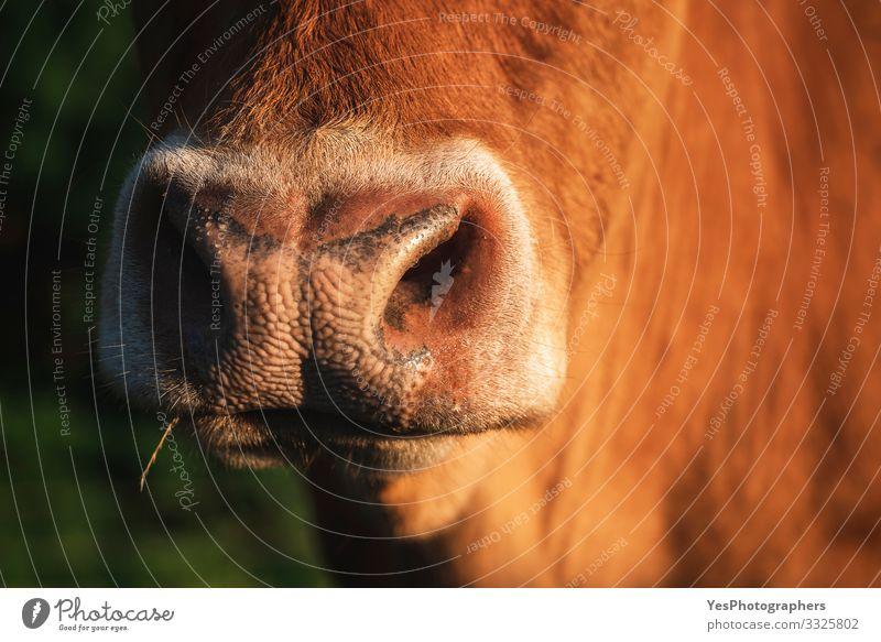 Kuh-Schnauze in Nahaufnahme im Sonnenlicht. Die Nase einer rötlichen Kuh Gesicht Landschaft Schönes Wetter Nutztier Tiergesicht 1 hell lustig natürlich niedlich