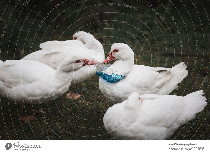 Plastikabfälle am Vogelhals. Enten und Kunststoffverschmutzung Umwelt 4 Tier Tiergruppe Umweltschutz Konsum Hausvogel Müllhalde ökologisch Umweltfragen Geflügel