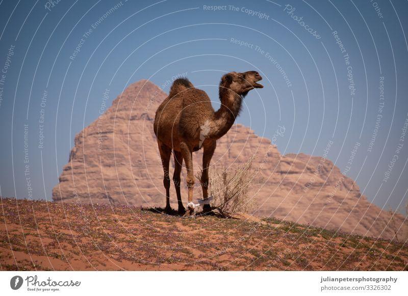 Kamelreiten in der Wüste von Wadi Rum, Jordanien Reiten Mitfahrgelegenheit Camel Kamele Trekking Tier Tiere Offroad Transport Sand Berge Horizont Bahn Dunes