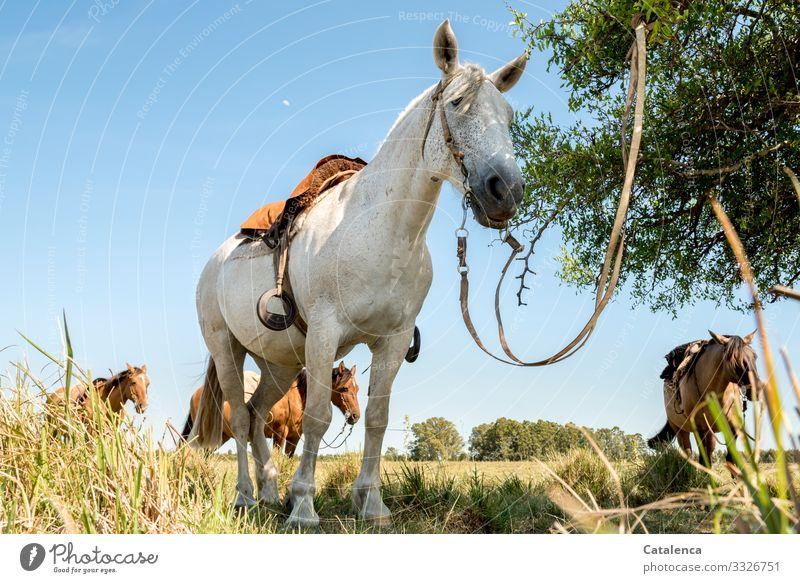 Pause, gesattelte Pferde in der Prärie  warten geduldig auf ihre Reiter Natur Tier Nutztiere stehen Sattel Zaumzeug Zügel Pflanze Gras Weide Pampa Wiese Baum