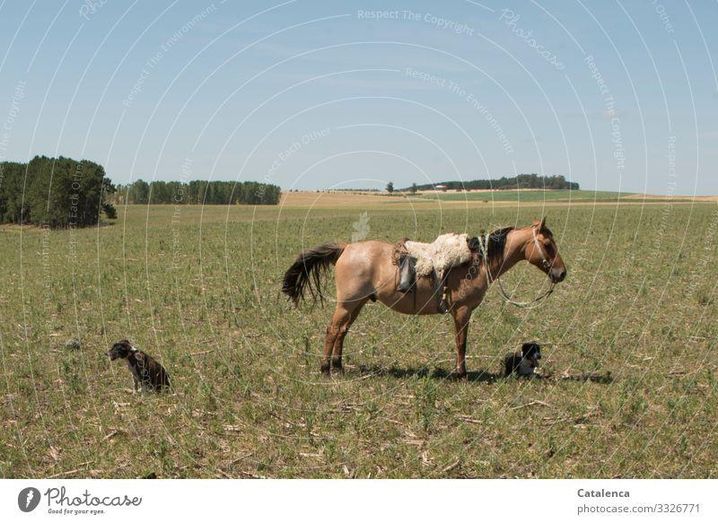 Warten Gaucho Landwirtschaft Forstwirtschaft Landschaft Pflanze Tier Wolkenloser Himmel Horizont Sommer Baum Gras Wiese Feld Pampa Nutztier Hund Pferd 3 liegen