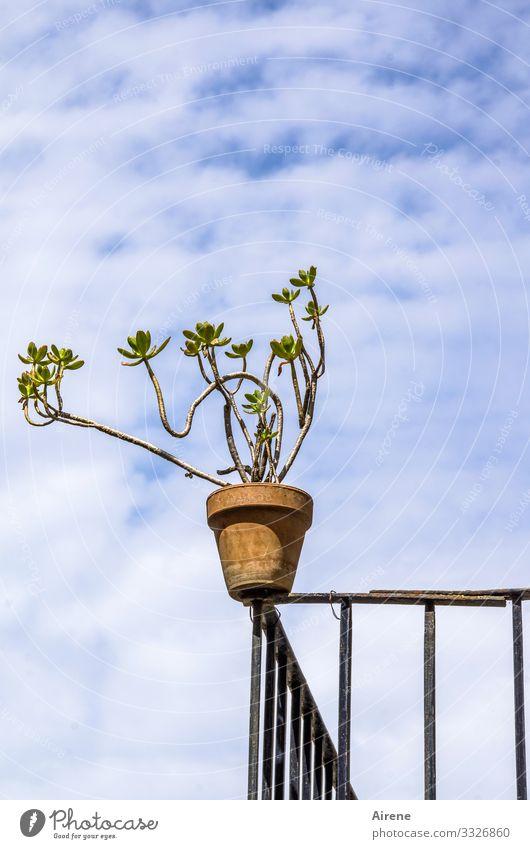 sie liebt das Risiko Häusliches Leben Balkonpflanze Metallzaun Himmel Wolken Schönes Wetter Pflanze Topfpflanze Sukkulenten Blumentopf oben blau rot weiß luftig