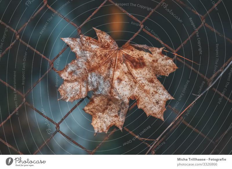 Herbstlaub im Zaun Natur Pflanze Sonne Sonnenlicht Blatt Ahorn Ahornblatt Metall hängen verblüht dehydrieren nah natürlich blau braun gelb orange