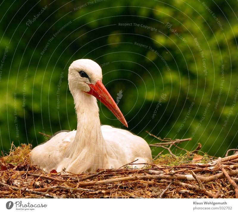 Geduldsprobe Natur grün weiß rot Tier schwarz Umwelt Frühling Vogel sitzen Wildtier Storch Nest Weißstorch Brutpflege