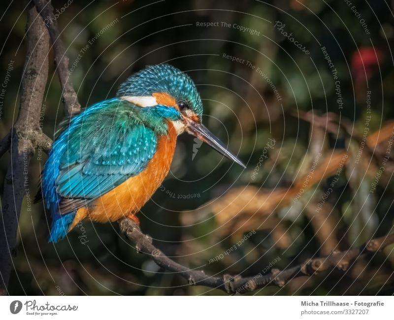 Eisvogel am Seeufer Umwelt Natur Tier Sonnenlicht Schönes Wetter Baum Zweige u. Äste Flussufer Wildtier Vogel Tiergesicht Flügel Krallen Eisvögel Schnabel Auge