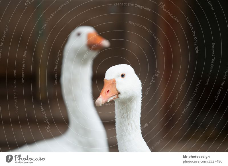 Two geese outdoor on a farm Tier Nutztier Tiergesicht Gans 2 Tierpaar füttern goose Bird Feather Feathers Beak Creature Animal Animal welfare farm animals cold