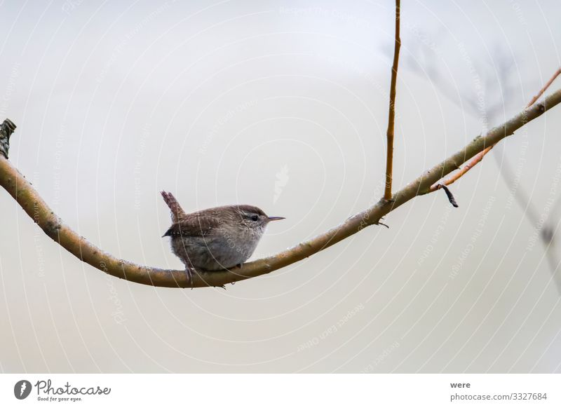 An inconspicuous wren sits on a branch Natur Wildtier Vogel 1 Tier klein weich Troglodytes troglodytes animal bird copy space cuddly cuddly soft feathers fly