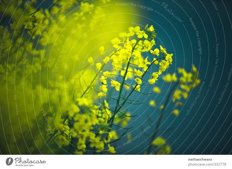 Raps Natur blau schön Sommer Pflanze Farbe Blume Umwelt gelb Frühling natürlich Wachstum Blühend türkis Duft positiv