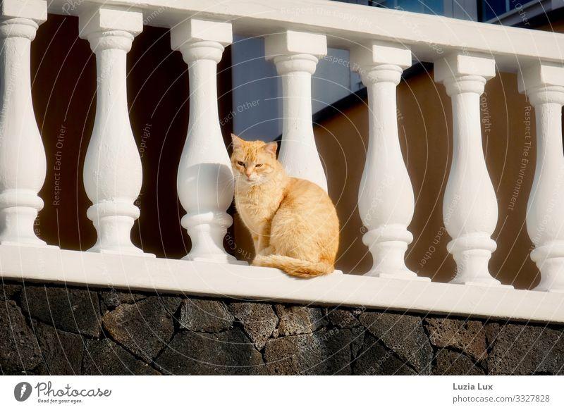 Rote Katze Tier Haustier 1 warten hoch schön rot Neugier Tigerkatze Rottiger Farbfoto Gedeckte Farben Außenaufnahme Textfreiraum links Textfreiraum rechts