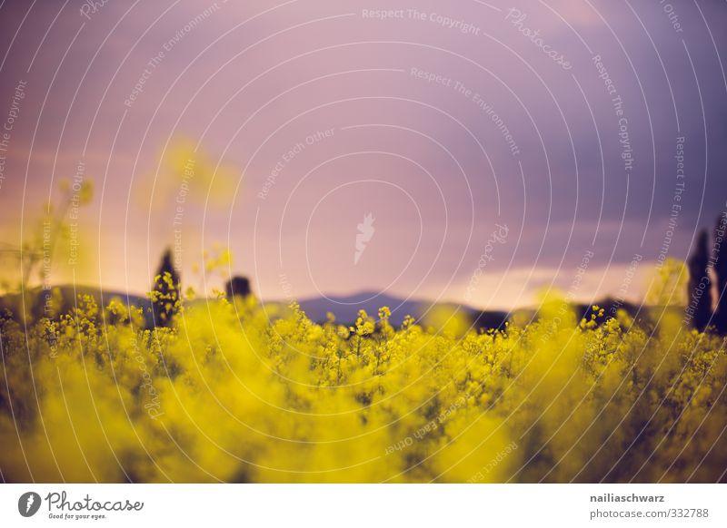 Abend Umwelt Natur Landschaft Pflanze Himmel Horizont Frühling Sommer Blume Blüte Nutzpflanze Raps Rapsfeld Wiese Feld Hügel Duft Wachstum Fröhlichkeit frisch