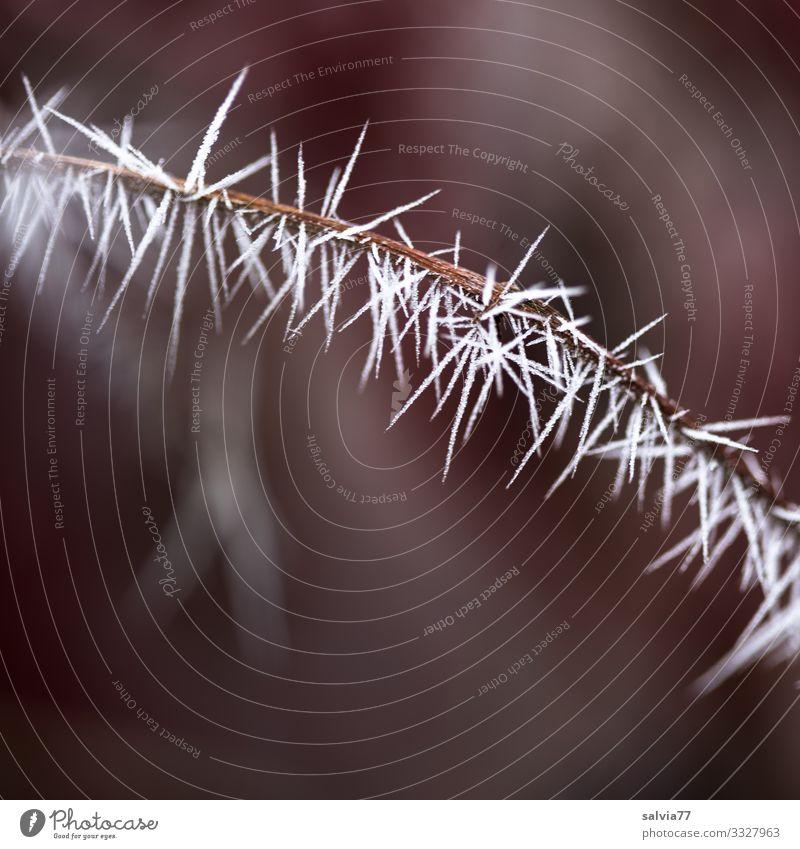 Eiszeit | Eisnadeln Umwelt Natur Urelemente Herbst Winter Klima Wetter Frost Pflanze Zweig Raureif ästhetisch außergewöhnlich Spitze stachelig Stachel
