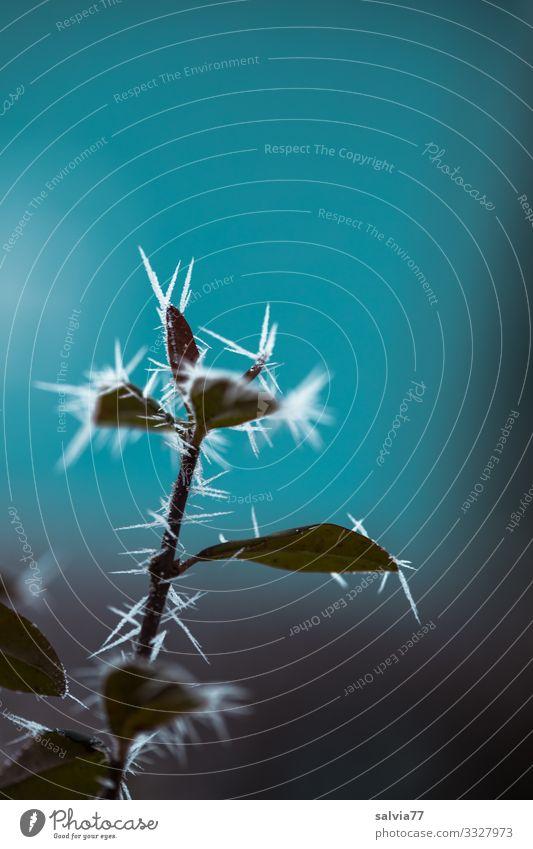 Eiszeit | Eisdornen Umwelt Natur Pflanze Luft Winter Klima Frost Sträucher Blatt Zweig außergewöhnlich dunkel kalt Spitze stachelig blau Stachel Dorn Raureif