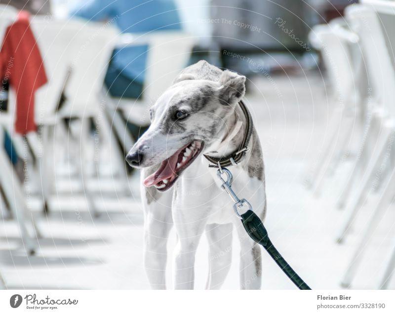 """Windhund Hund 1 Tier beobachten dünn ruhig Armut ästhetisch """"Windhund grau anmutig Leine Halsband"""" Farbfoto Gedeckte Farben Außenaufnahme Tag"""