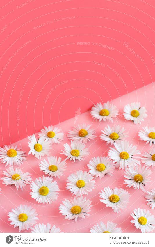 Weiße Gänseblümchen auf rosa Hintergrund Design Dekoration & Verzierung Hochzeit Frau Erwachsene Mutter Blume Liebe weiß Kreativität Blütenblatt romantisch