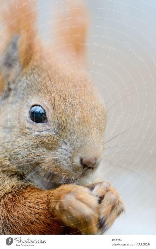 ganz nah Umwelt Natur Tier Wildtier 1 braun grau Eichhörnchen Nahaufnahme Farbfoto Außenaufnahme Menschenleer Textfreiraum rechts Tag Schwache Tiefenschärfe