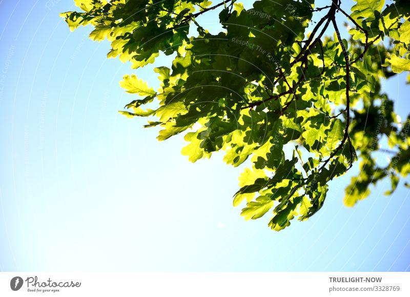 Die Kraft der Natur zeigt sich in der Teilansicht eines Eichenbaumes im Frühling mit frischem grünen Eichenlaub am Zweig, dass vor lichtblauem Himmel von der Fühlingssonne beleuchtet wird.