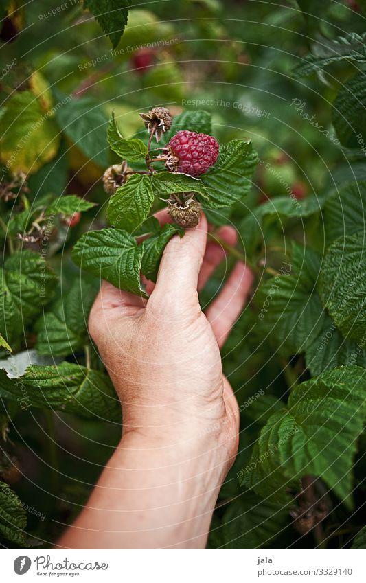 himbeeren Lebensmittel Frucht Himbeeren Himbeerbusch Arbeit & Erwerbstätigkeit Gartenarbeit Landwirtschaft Forstwirtschaft Hand Finger Natur Pflanze Sträucher