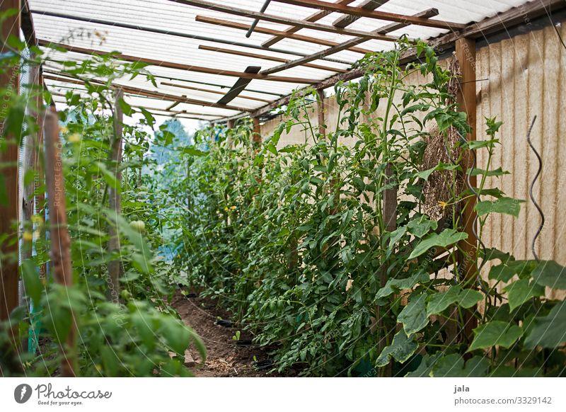 tomaten Lebensmittel Gemüse Tomate Gartenarbeit Landwirtschaft Forstwirtschaft Pflanze Grünpflanze Nutzpflanze Gebäude Gewächshaus frisch Gesundheit natürlich