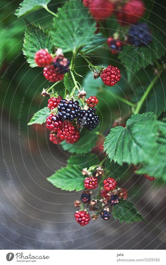 brombeeren Lebensmittel Frucht Brombeeren Brombeerbusch Bioprodukte Vegetarische Ernährung Landwirtschaft Forstwirtschaft Natur Pflanze Sommer Sträucher Blatt