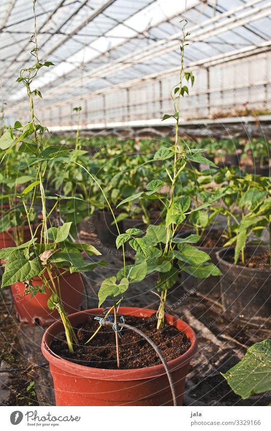 aufzucht Lebensmittel Gemüse Gartenarbeit Landwirtschaft Forstwirtschaft Pflanze Nutzpflanze Topfpflanze Gewächshaus frisch natürlich Wachstum Farbfoto