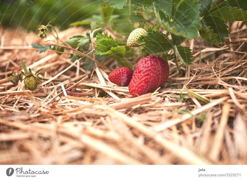 erdbeeren Lebensmittel Frucht Erdbeeren Bioprodukte Landwirtschaft Forstwirtschaft Umwelt Natur Pflanze Sommer Blatt Nutzpflanze frisch Gesundheit lecker