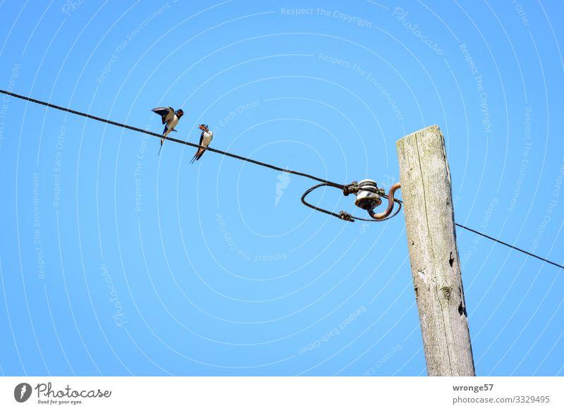 2 Schwalben auf einer Freileitung bringen den Sommer in's Land Vögel Vogel Tier Außenaufnahme Farbfoto Tag Wildtier Natur Textfreiraum oben Himmel