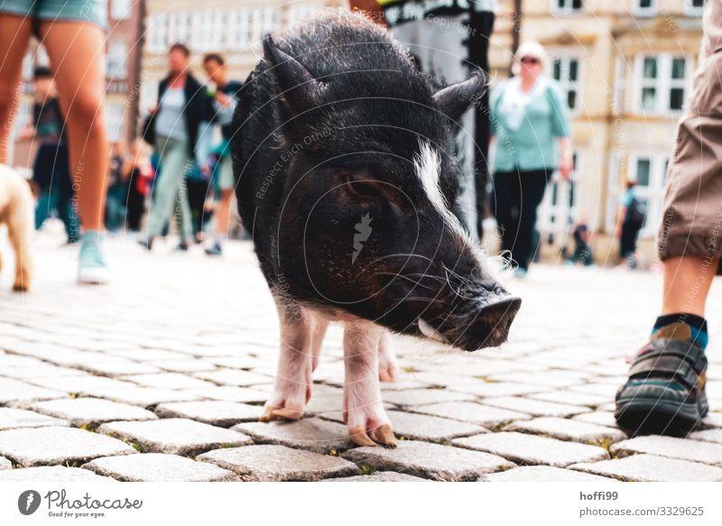 Nahaufnahme eines kleinen Schweins in Fußgängerzone mit diversen Menschen Menschenmenge Platz Marktplatz Ferkel 1 Tier berühren Bewegung stehen ästhetisch