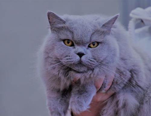 Britisch Blu, Rassekatze Häusliches Leben Preisverleihung Fell Haustier Katze 1 Tier Lächeln träumen Gesundheit kuschlig Zufriedenheit Lebensfreude Vertrauen
