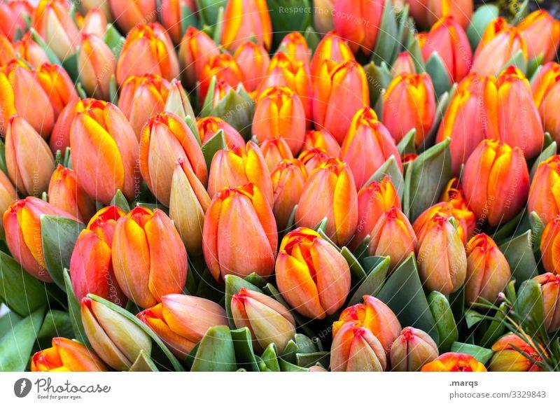 Tulpen orange blumen Frühling grün Blüte viele schenken Freude Überraschung Blumenladen Tulpenblüte Tulpenknospe Ostern Hintergrundbild