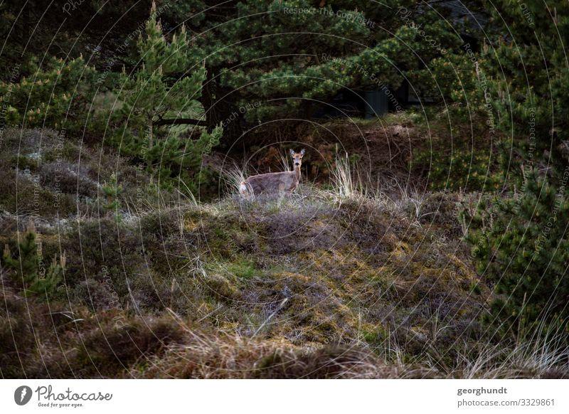 Heideglotzer Jagd Umwelt Natur Landschaft Pflanze Tier Baum Sträucher Moos Hügel Wildtier hören Blick stehen natürlich Reh Wachsamkeit Farbfoto Außenaufnahme